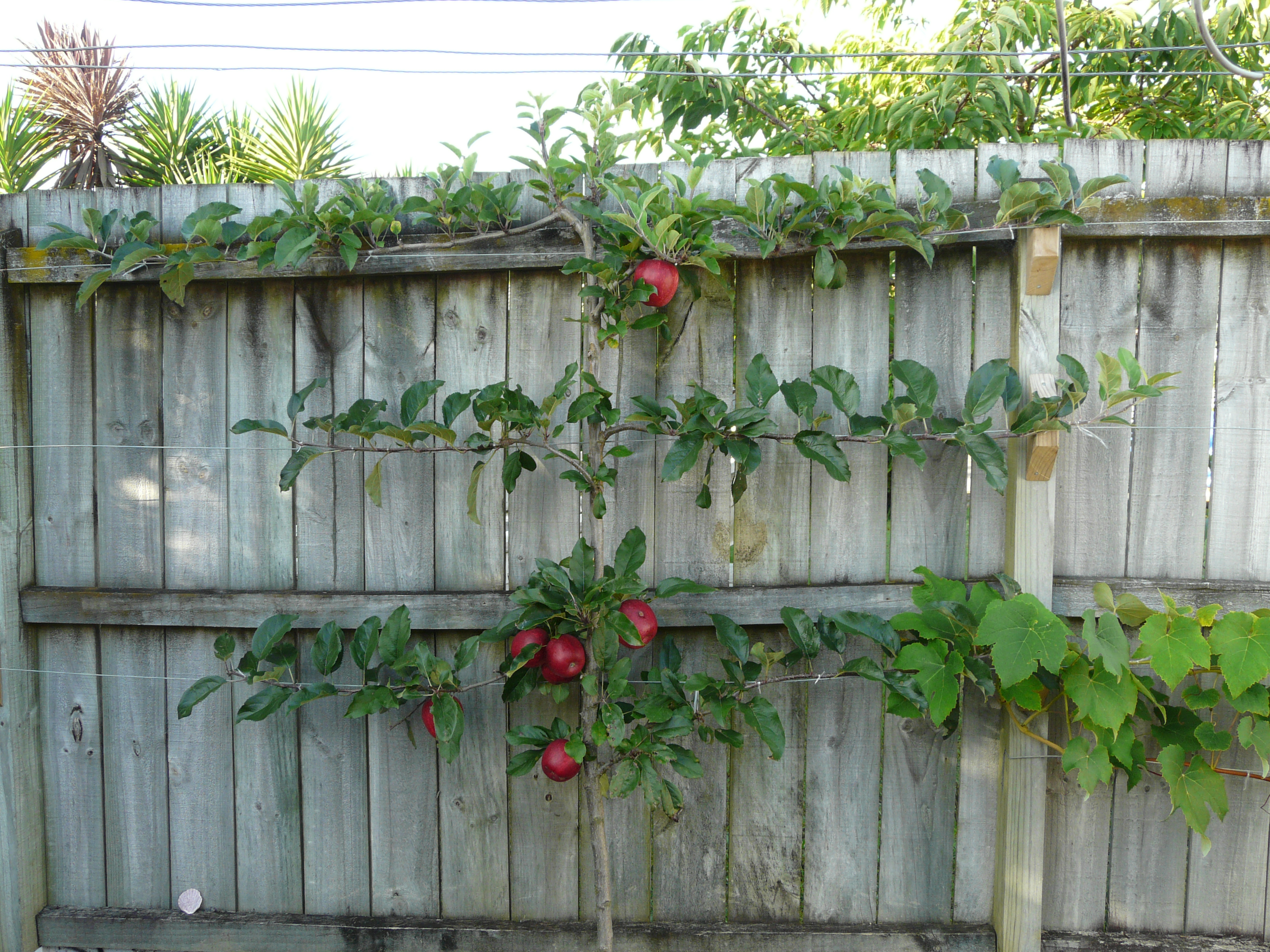 how to take care of passion fruit plant