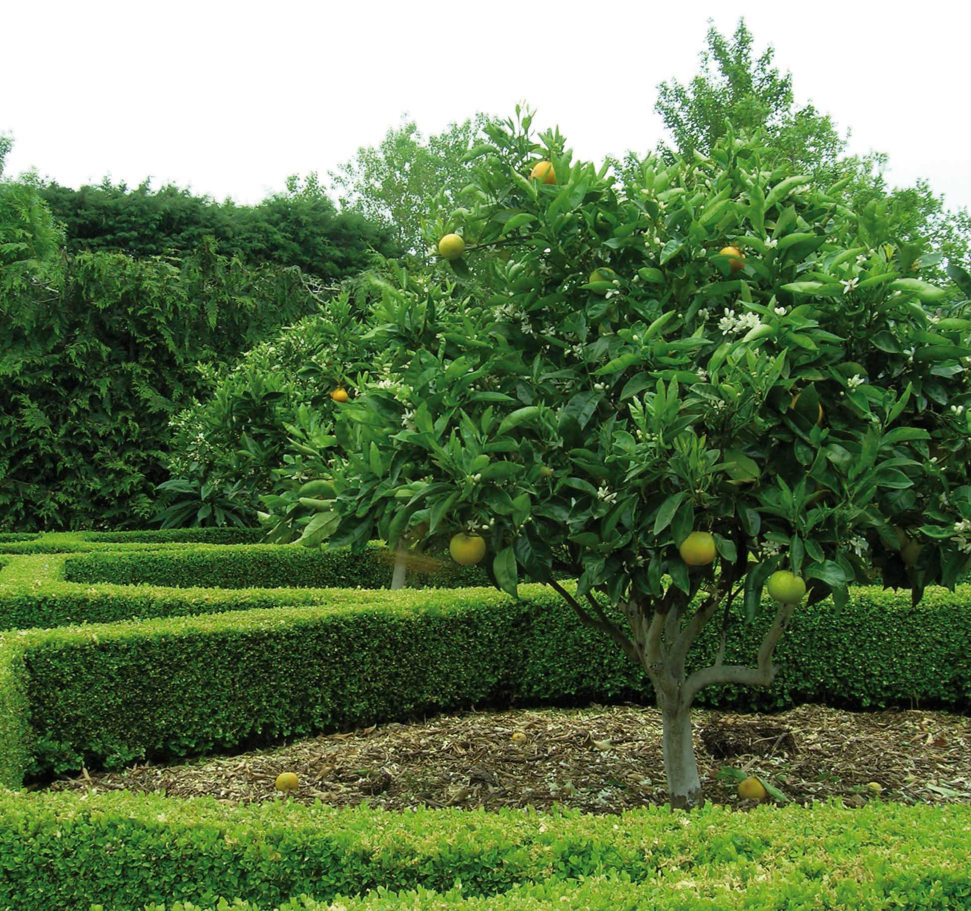 29 99 Full Sun Trees Citrus Fruit To Plant