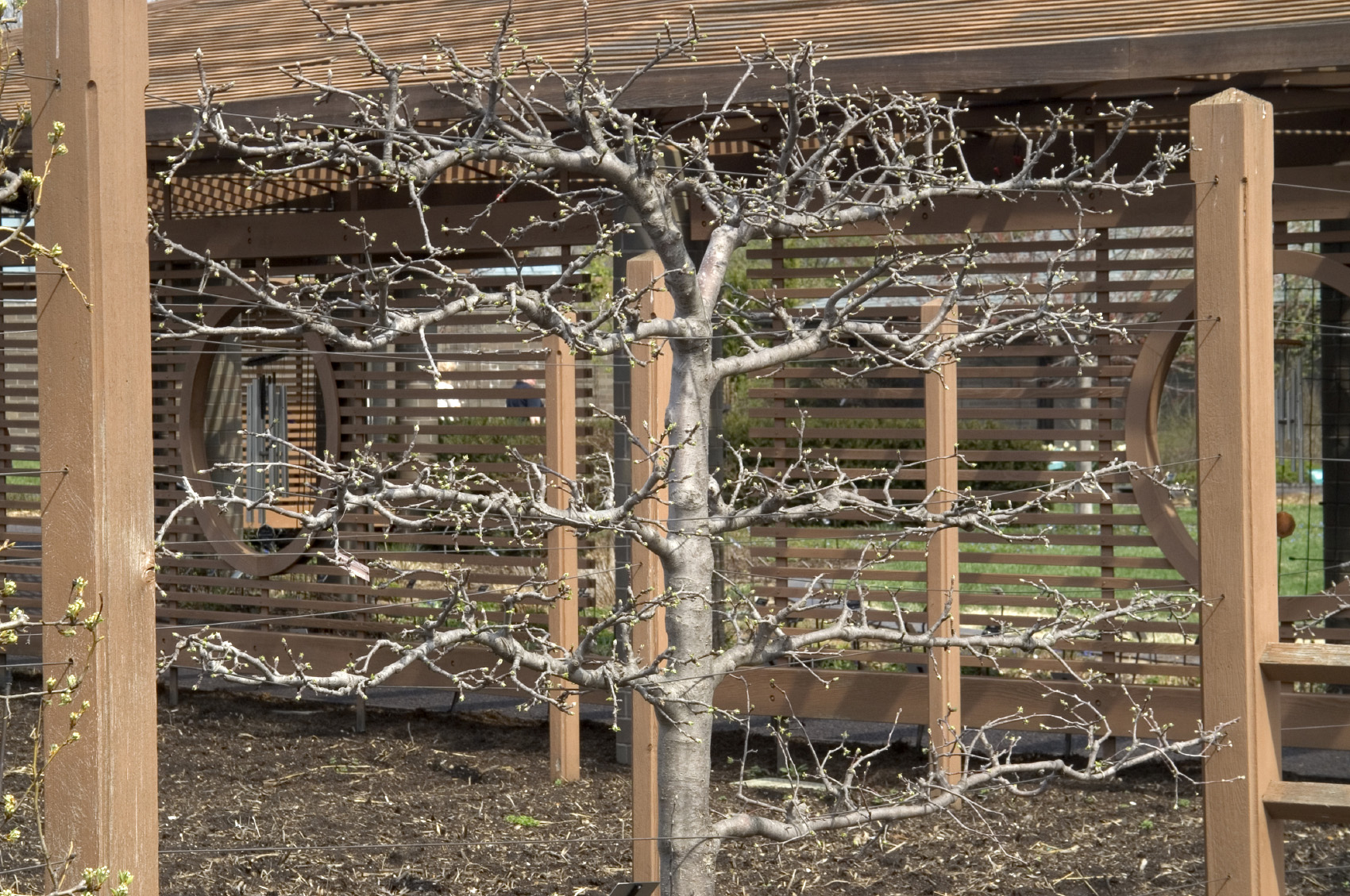 How to espalier fruit trees for Landscaping courses nz