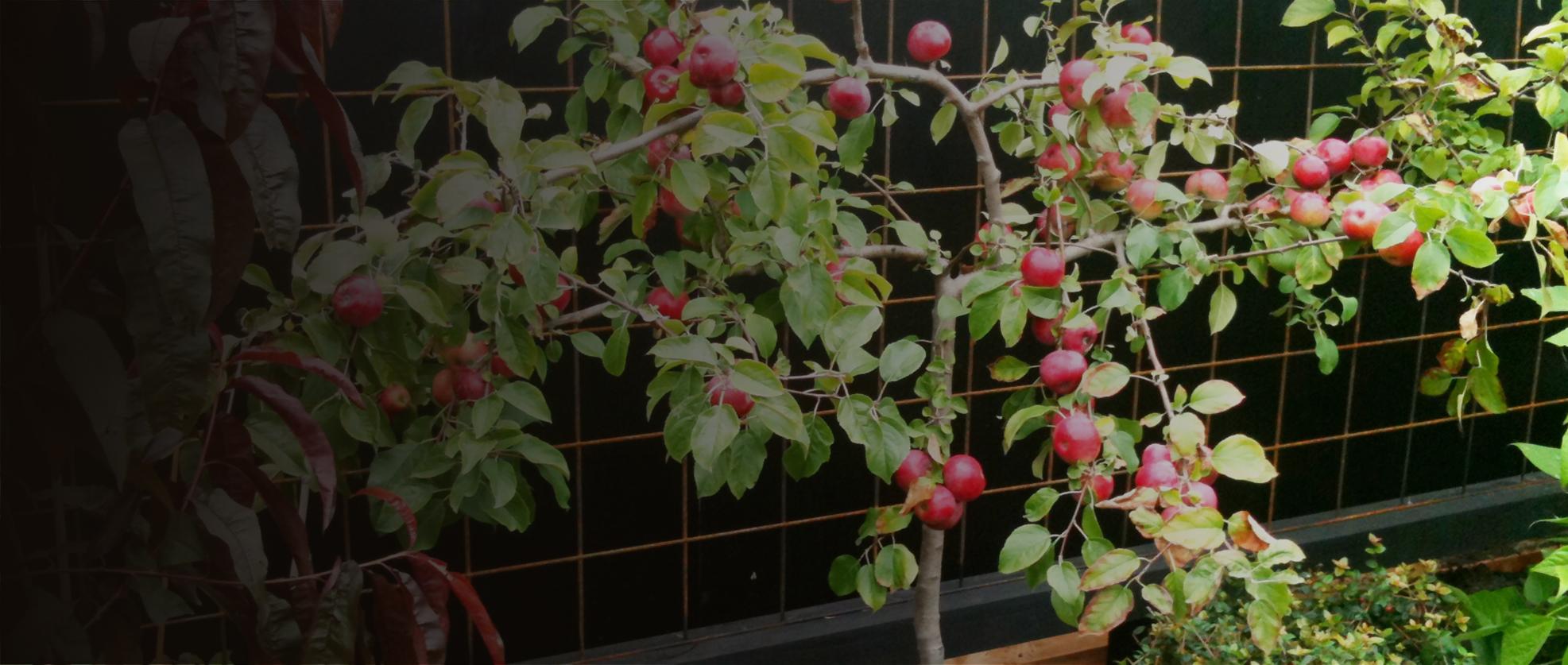 fruit  nut  berry ornamental tree producers