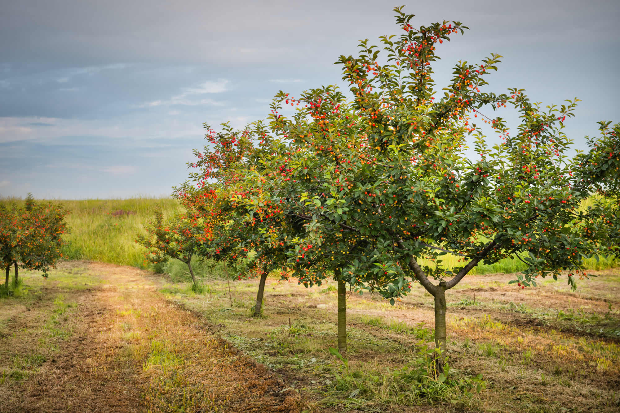 how to guide - in category fruit tree pruning