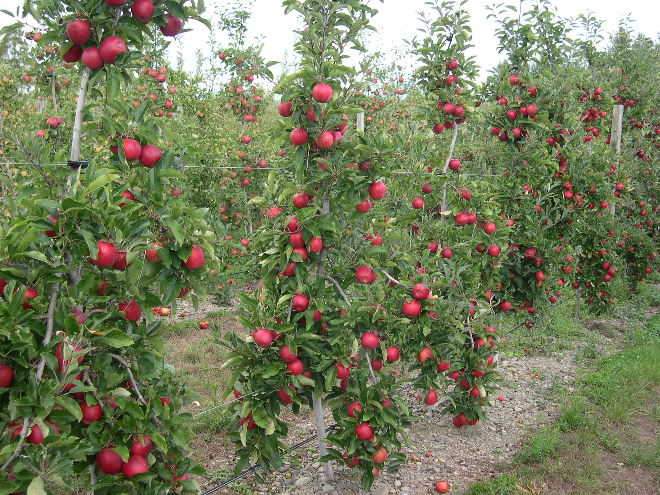Apple Trees Produced By Waimea Nurseries 100s Of