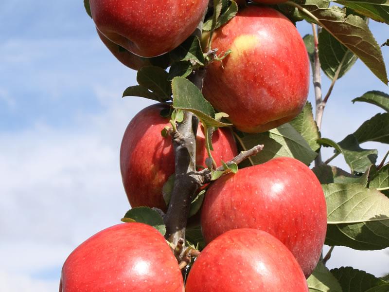 Apple Divine 174