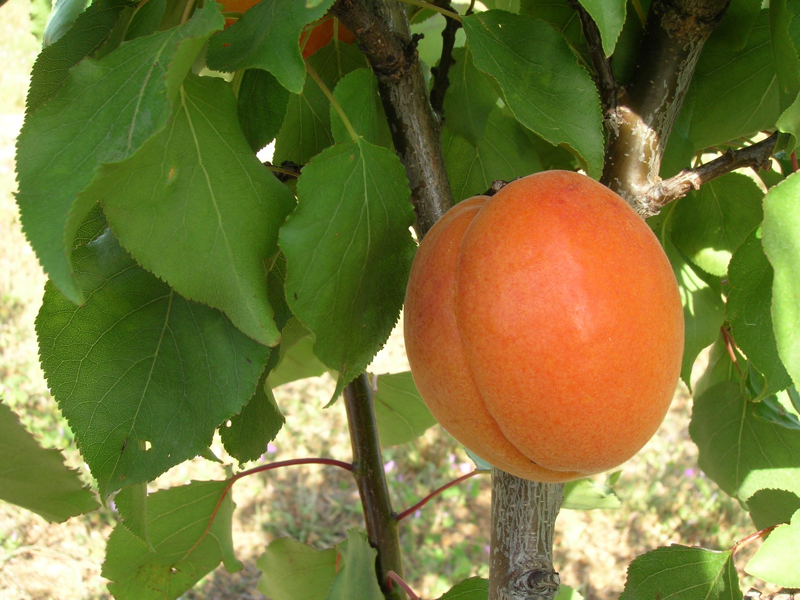 Apricot Tree Varieties Produced By Waimea Nurseries