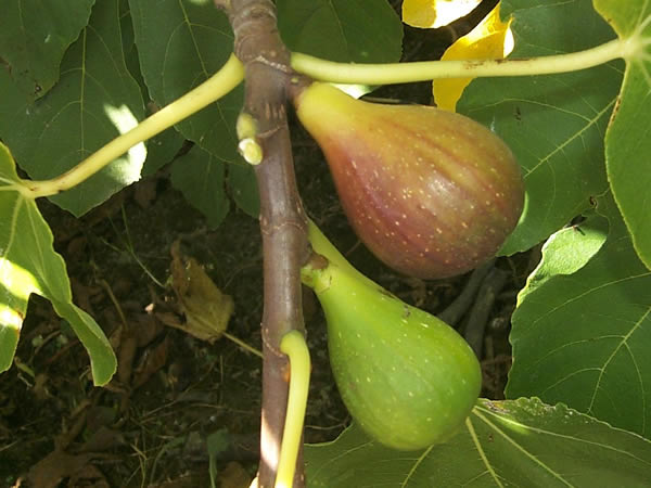 Fig Tree Varieties Available From Stockists Of Waima