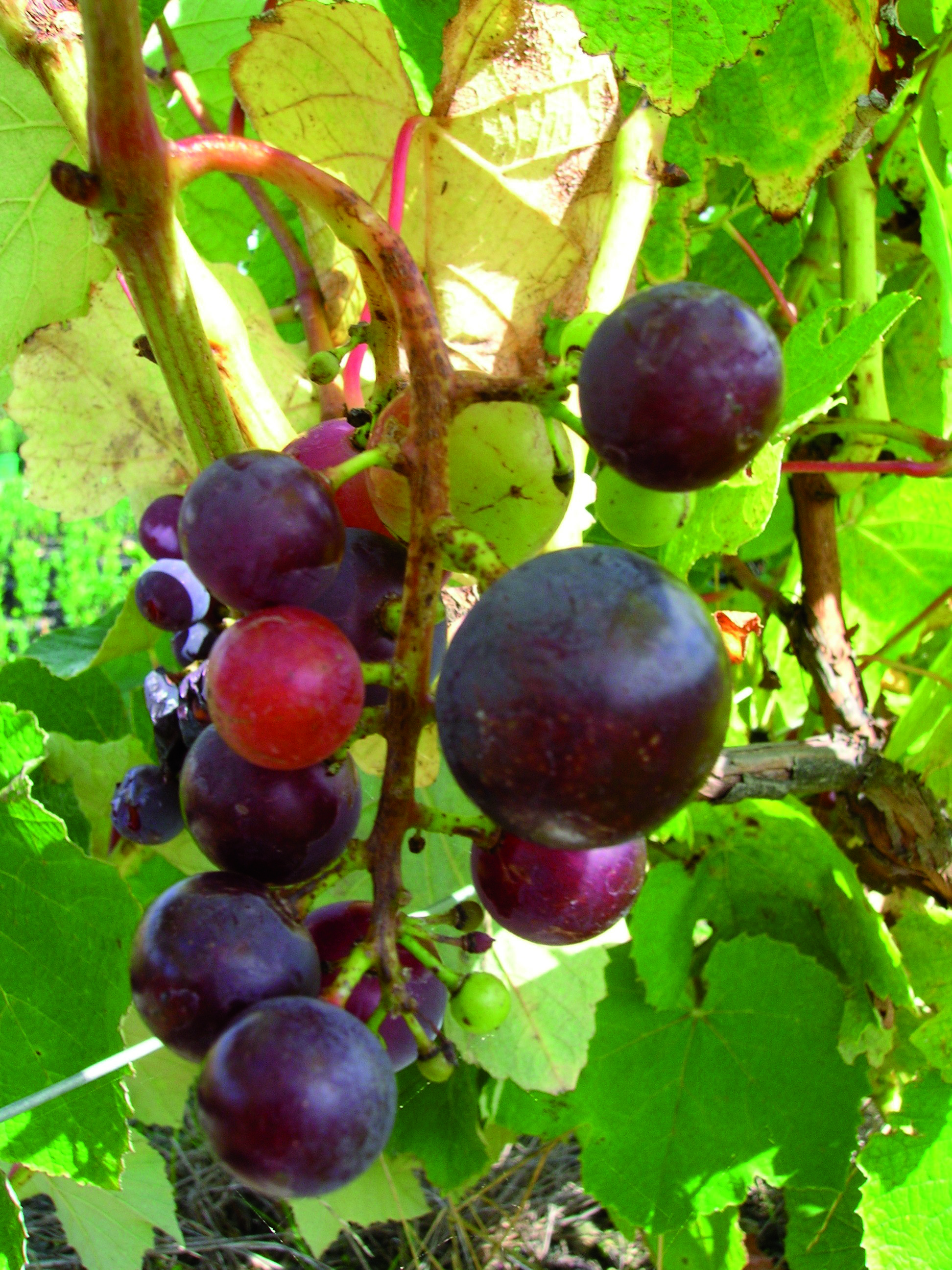 Red Black Grapes