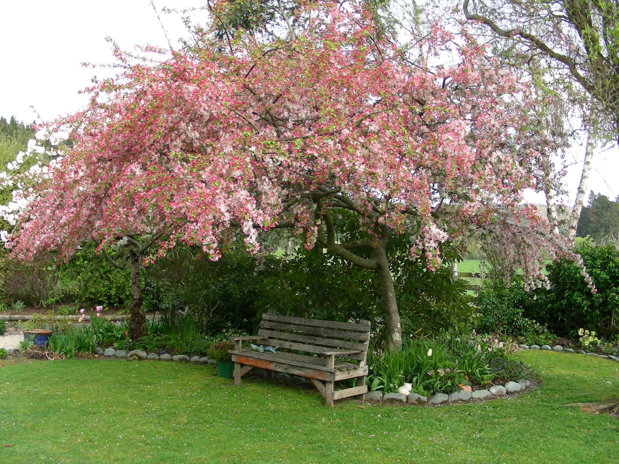 Malus for Crabapple tree