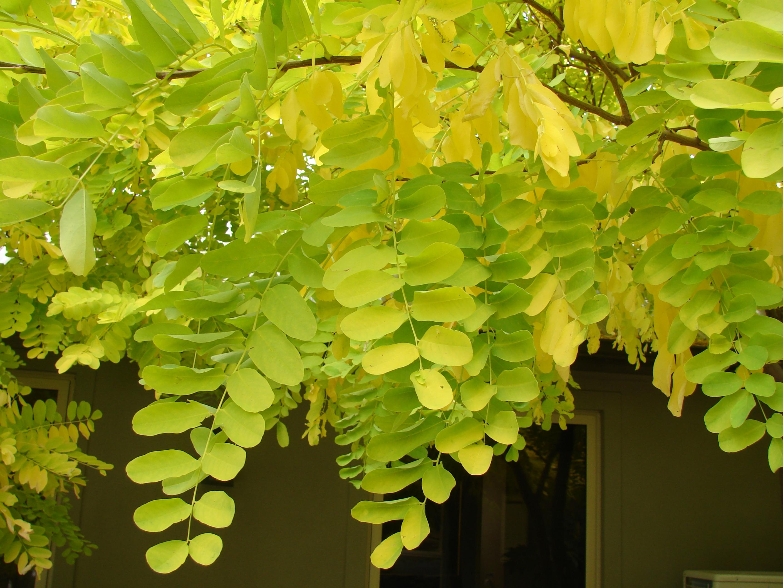 Robinia mightylinksfo