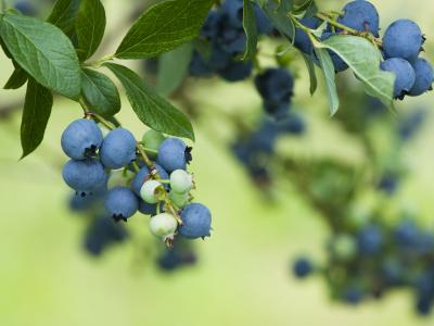 BLUEBERRY Southern Highbush