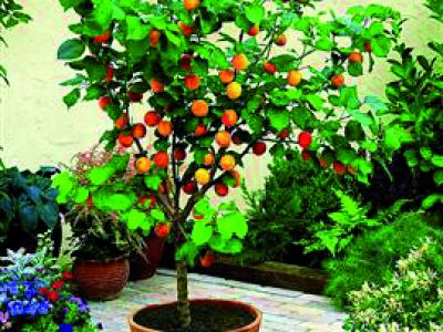 dwarf fruit trees produced by waimea nurseries, Natural flower