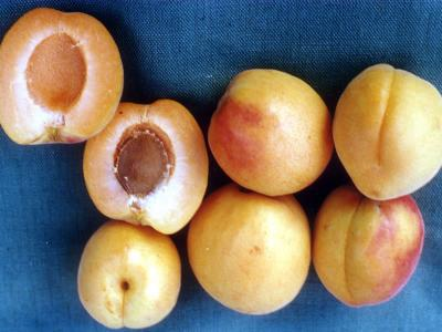 APRICOT Cluthalate