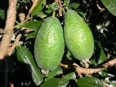FEIJOA Apollo