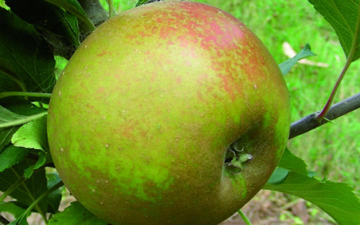 Apple - Egremont Russet