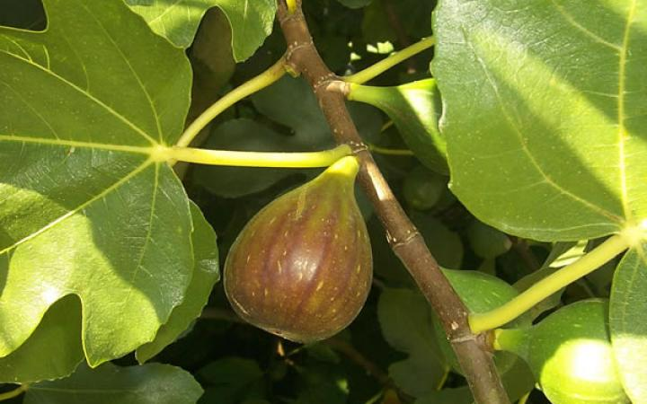 Fruit Trees / Figs / Brunswick /