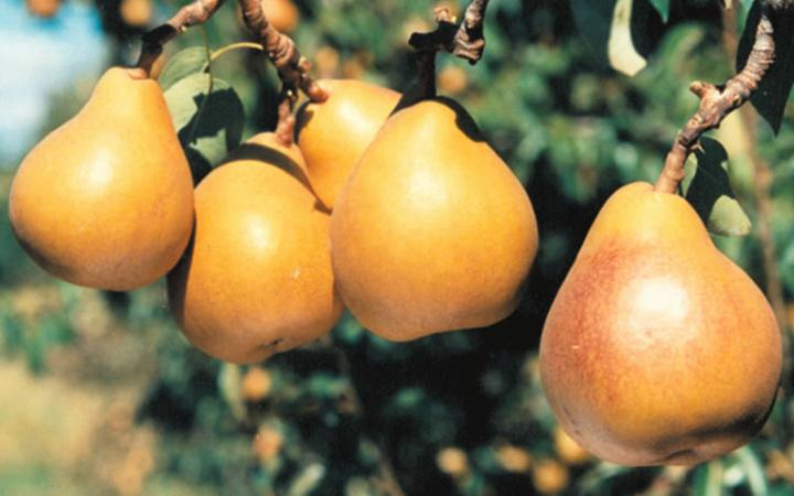 Fruit Trees / Pears / Taylors Gold*