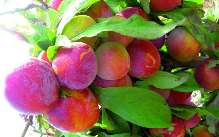 Fruit Trees / Plums / Burbank