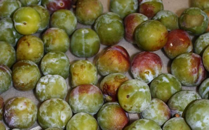 Fruit Trees / Plums / English Greengage