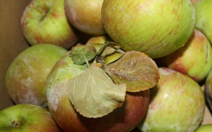 Apple - Peasgood Nonsuch