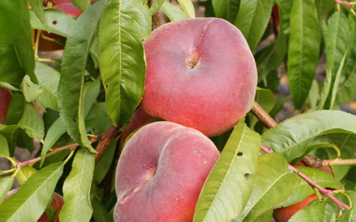 Fruit Trees / Peaches Flatto / Flatto™ Peach 'Sweet Bonnet'™ (Oriane PPVR)