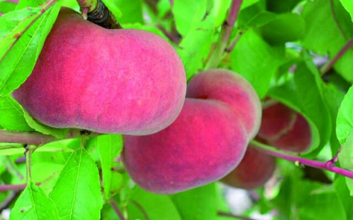 Fruit Trees / Peaches Flatto / Flatto™ Peach 'Sweet Cap'™ (Maillarflat*)