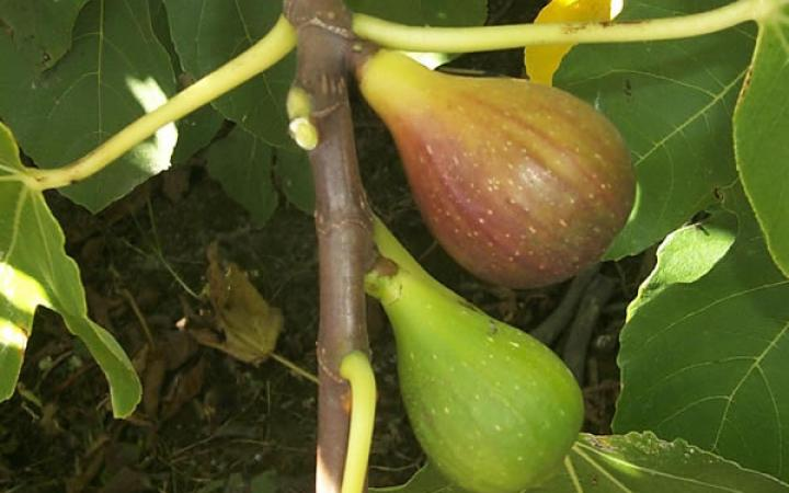 Fruit Trees / Figs / French Sugar