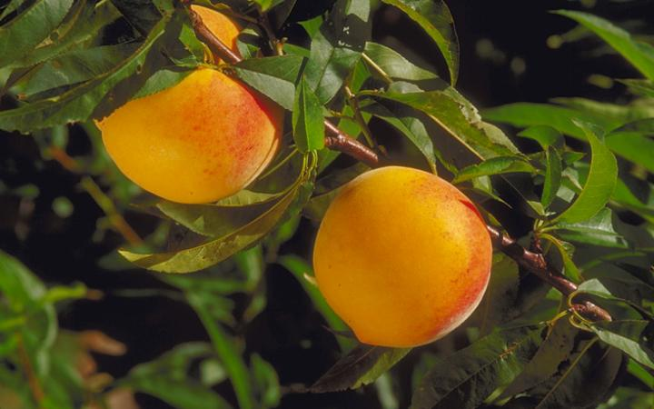 Fruit Trees / Peaches / Golden Haze