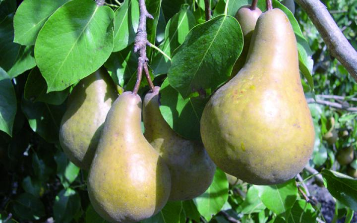 Fruit Trees / Pears / Beurre Bosc