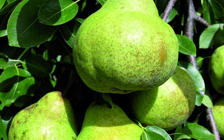 Fruit Trees / Pears / Packham's Triumph