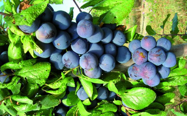 Fruit Trees / Plums / Damson