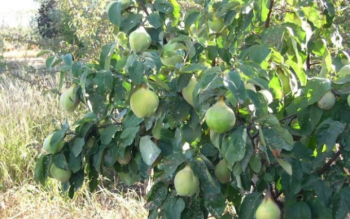 Fruit Trees / Quinces / Smyrna