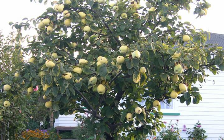 Quince Trees Pictures