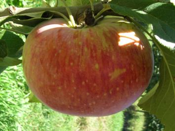 APPLE Peasgood Nonsuch