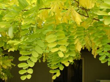 ROBINIA Tropical Splash™