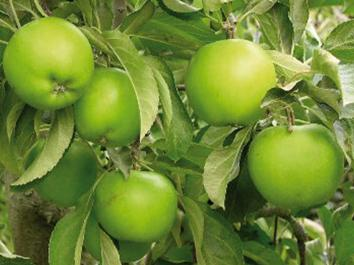 APPLE Baujade