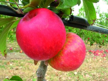 DWARF APPLE Autento™