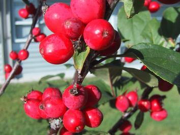 Malus Red Top