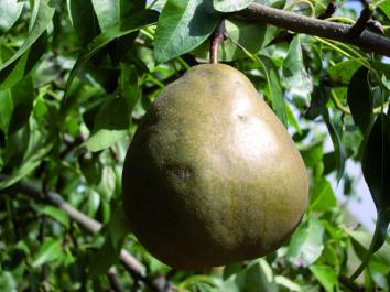 PEAR Winter Cole