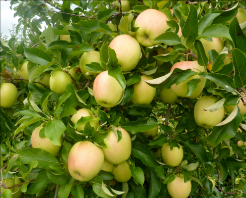 golden delicious apple trees produced by waimea nurseries. Black Bedroom Furniture Sets. Home Design Ideas