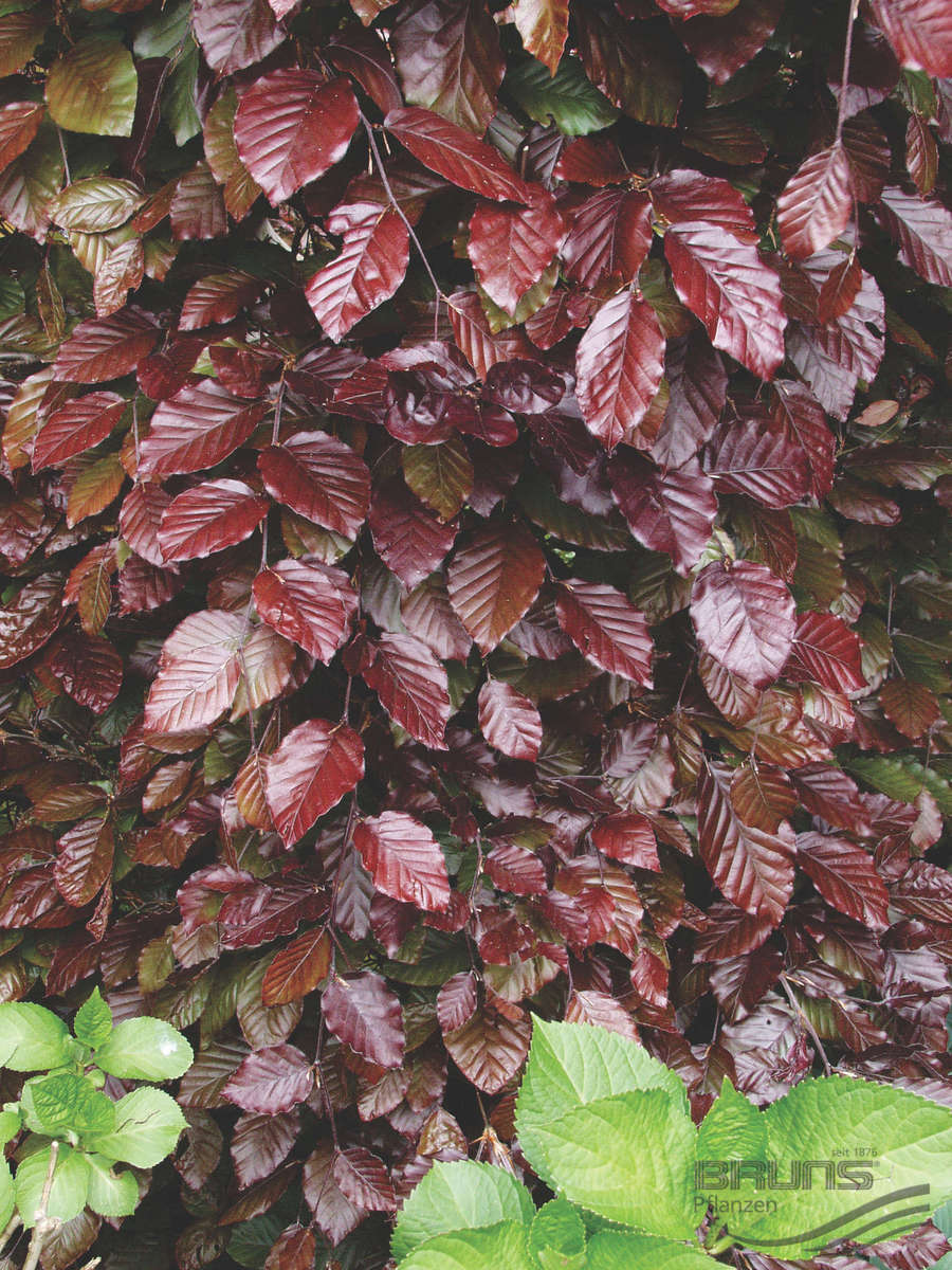 fagus big and beautiful singles Explore karen hine's board fagus on pinterest | see more ideas about beech tree, tree plantation and tree planting.