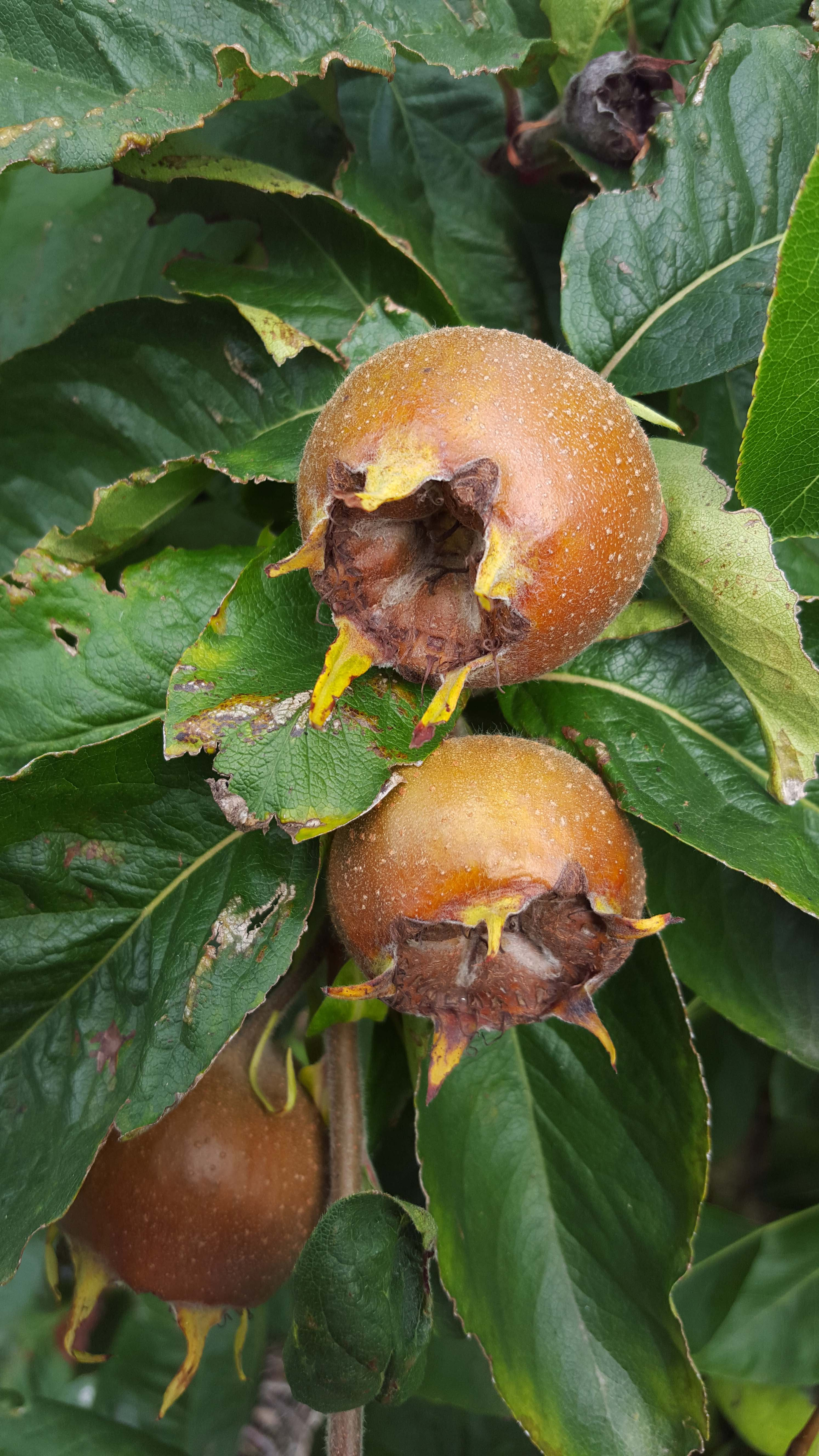 Medlar at home. Growing conditions