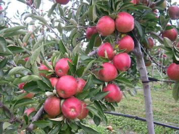 APPLE DOUBLE - Royal Gala & Braeburn