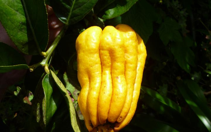 buddha hand fruit is a pickle a fruit