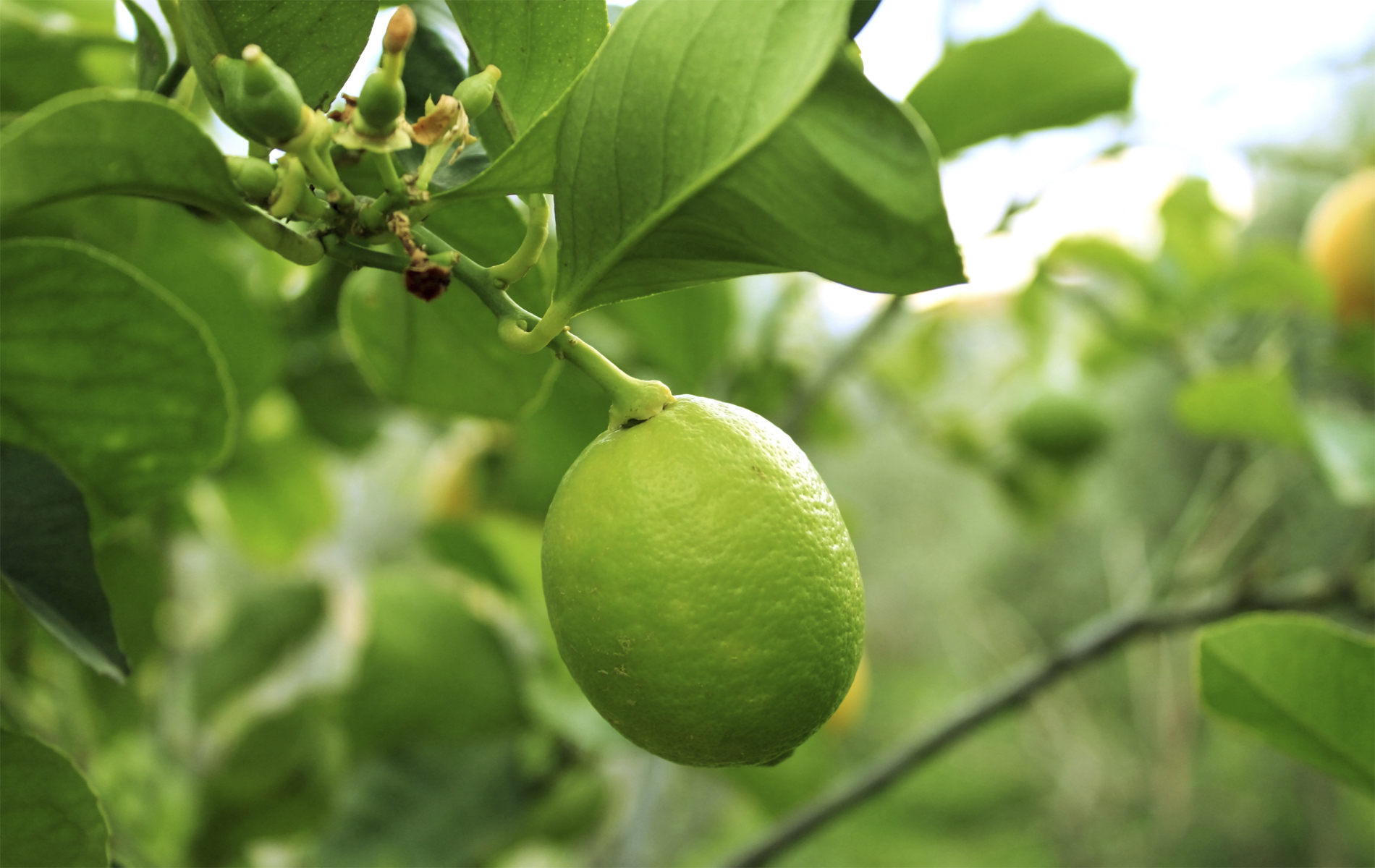 Citrus tree varieties offered by waimea nurseries - Fruit trees every type weather area ...