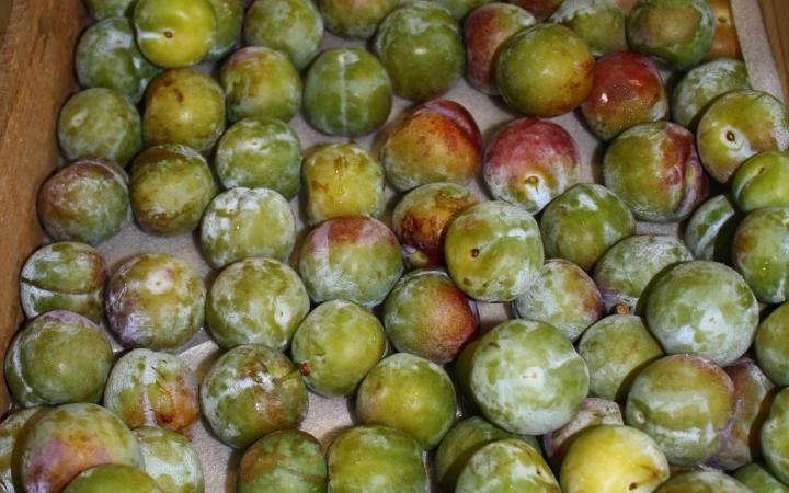 Plum-English-Greengage.jpg